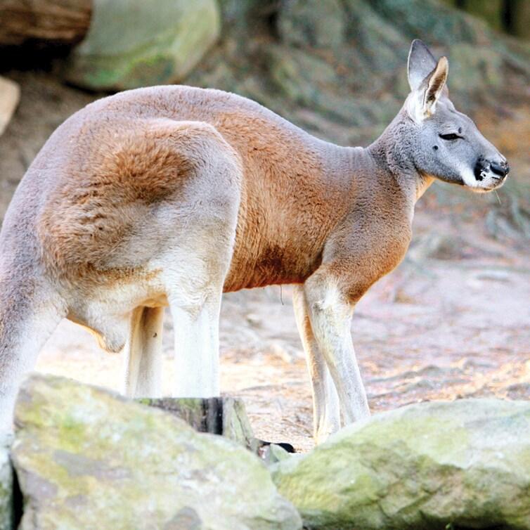 A kangaroo crouching down