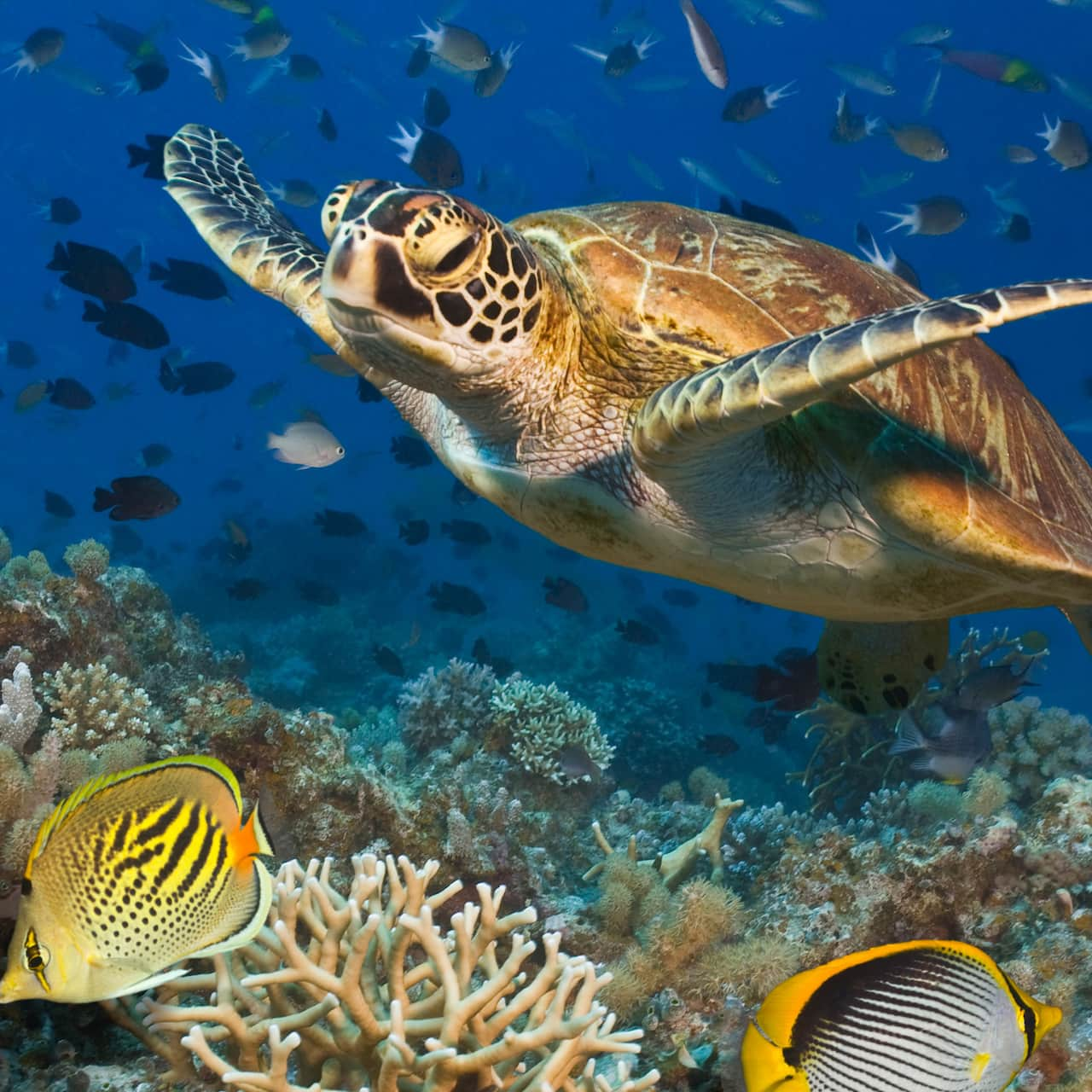 A turtle and many fish swim at the Great Barrier Reef