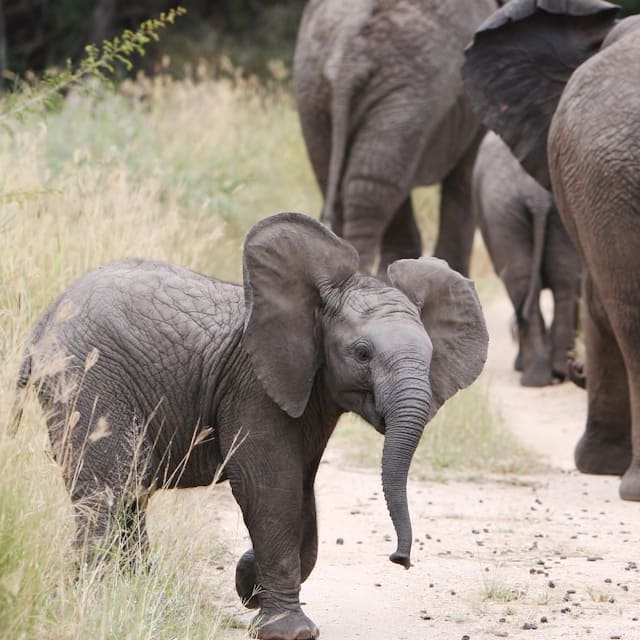 A baby elephant looks around as a parade of elephants marches down a path
