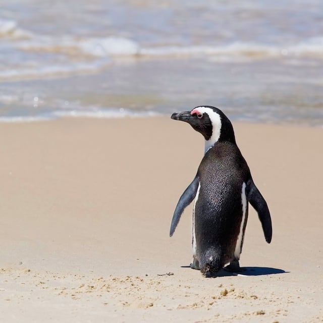 A penguin walks down a white sand beach, looking out at the ocean