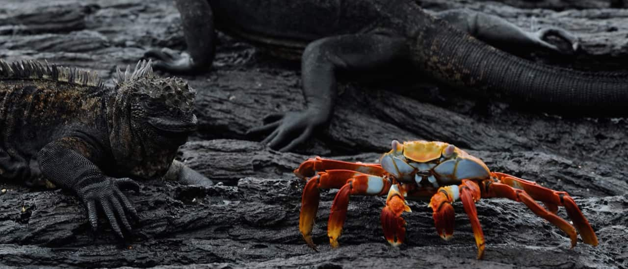 An iguana, a lizard and a crab rest on a lava rock surface