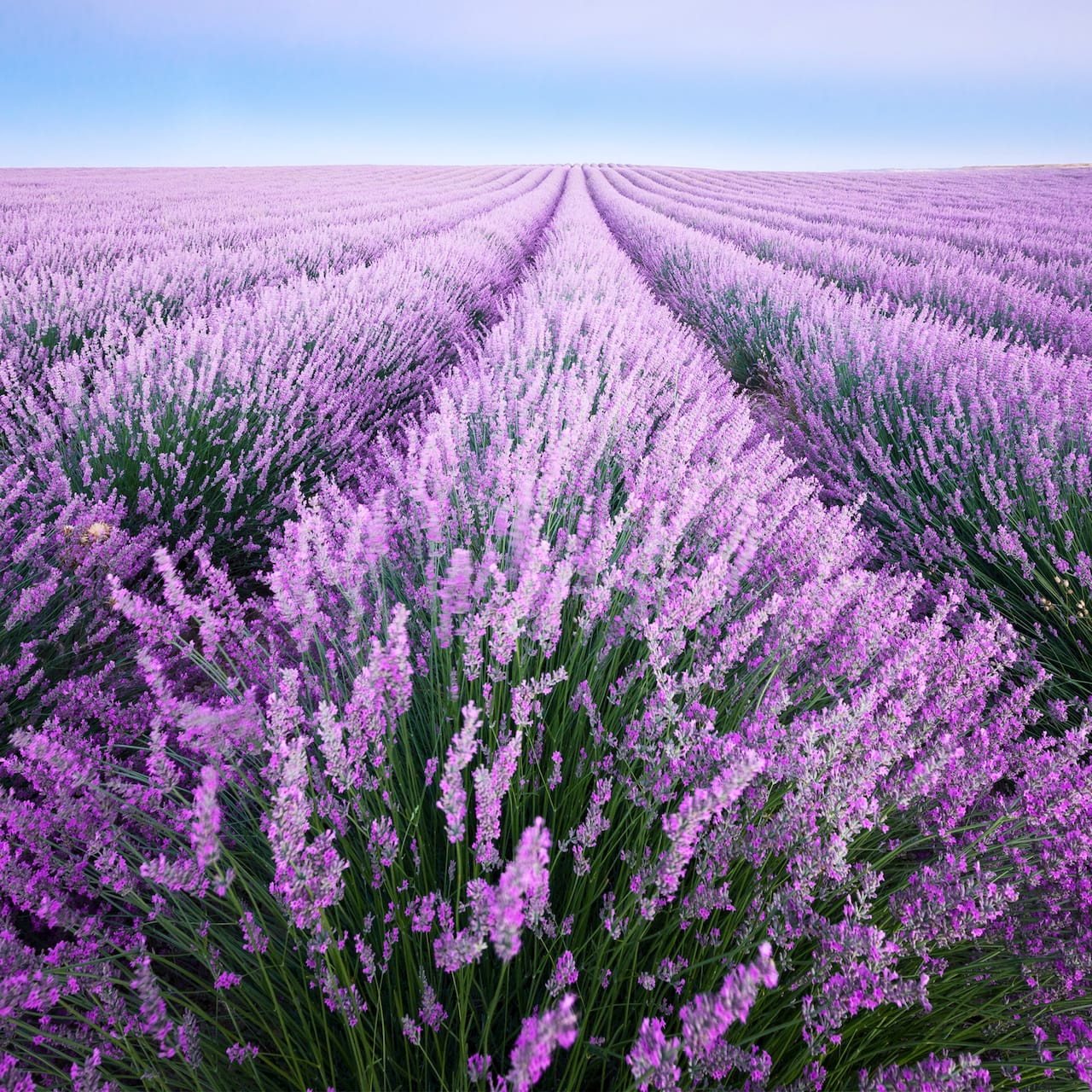 A field with rows of lavender