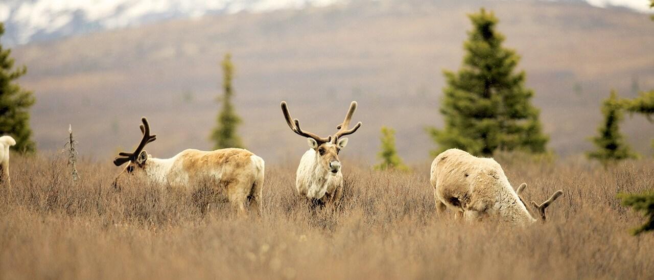 3 reindeer grazing