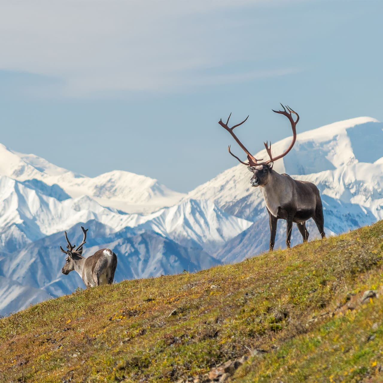 Two Alaskan caribou stand on a grassy hill near a snow-capped mountain range
