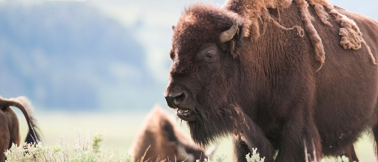 Several bison in a field