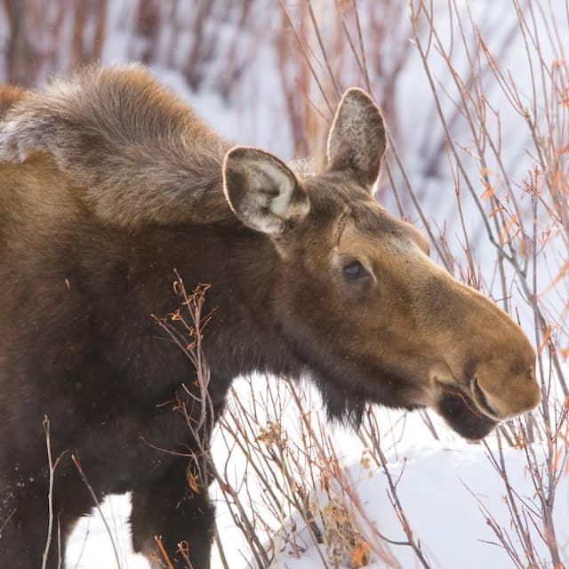 A moose stands in the snow and peeks through the brush