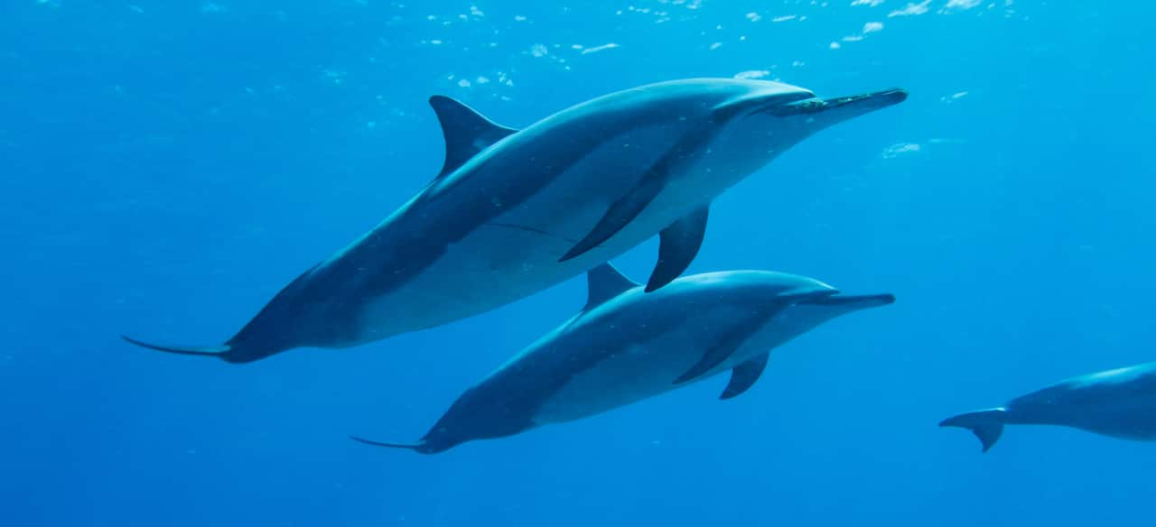 2 Spinner dolphins swim together underwater