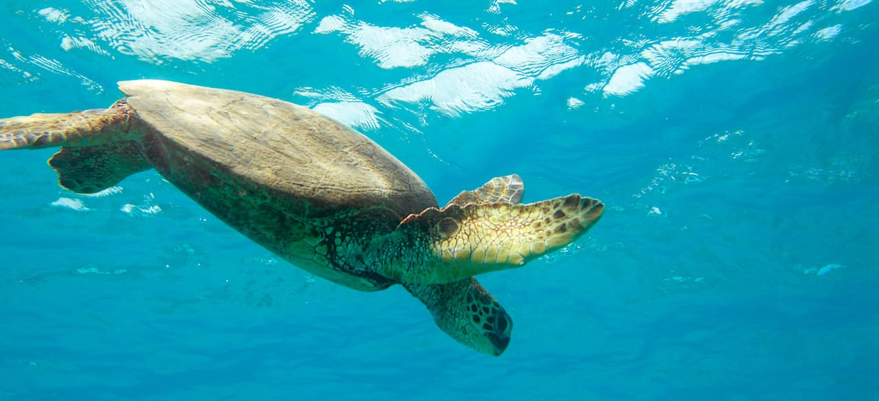 A sea turtle glides beneath the surface of the water