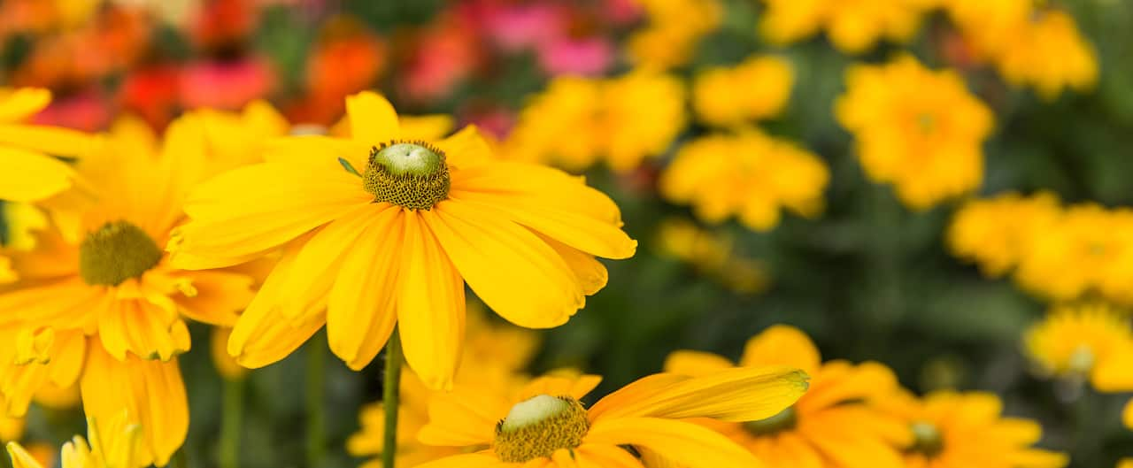 A daisy in close up among a field of flowering plants