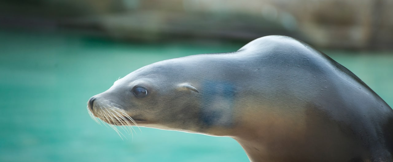 A sea lion with his pool in the background.