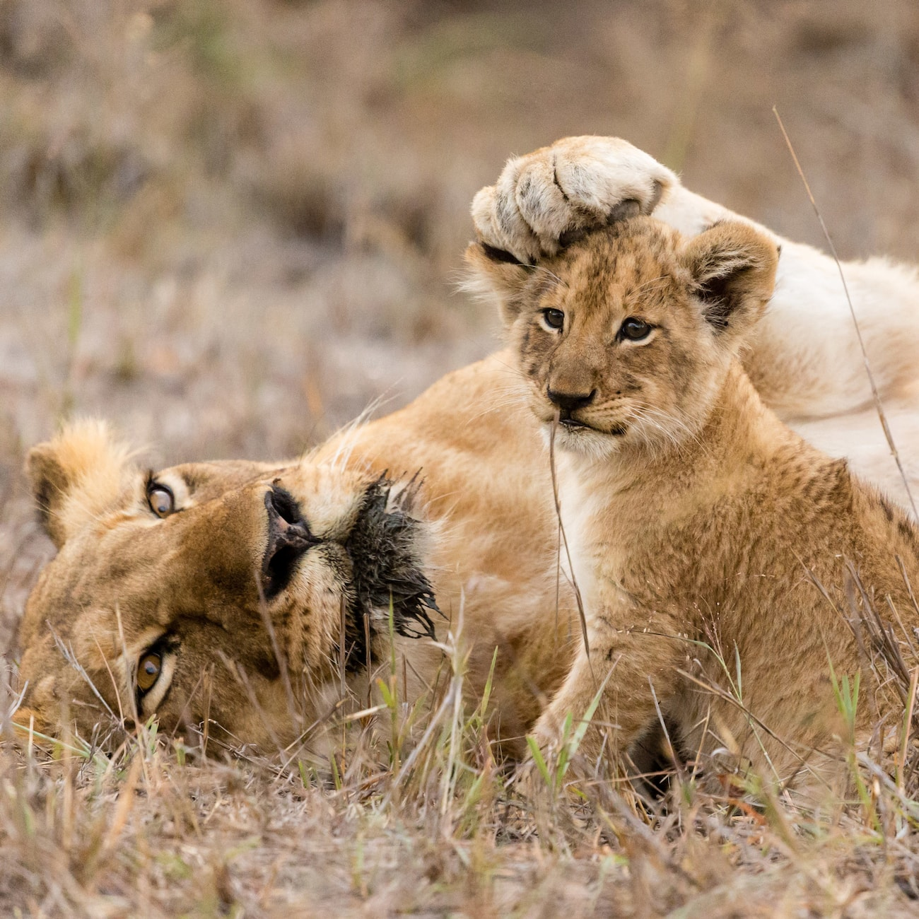 A lioness and her cub laze in the South African savanna grasslands
