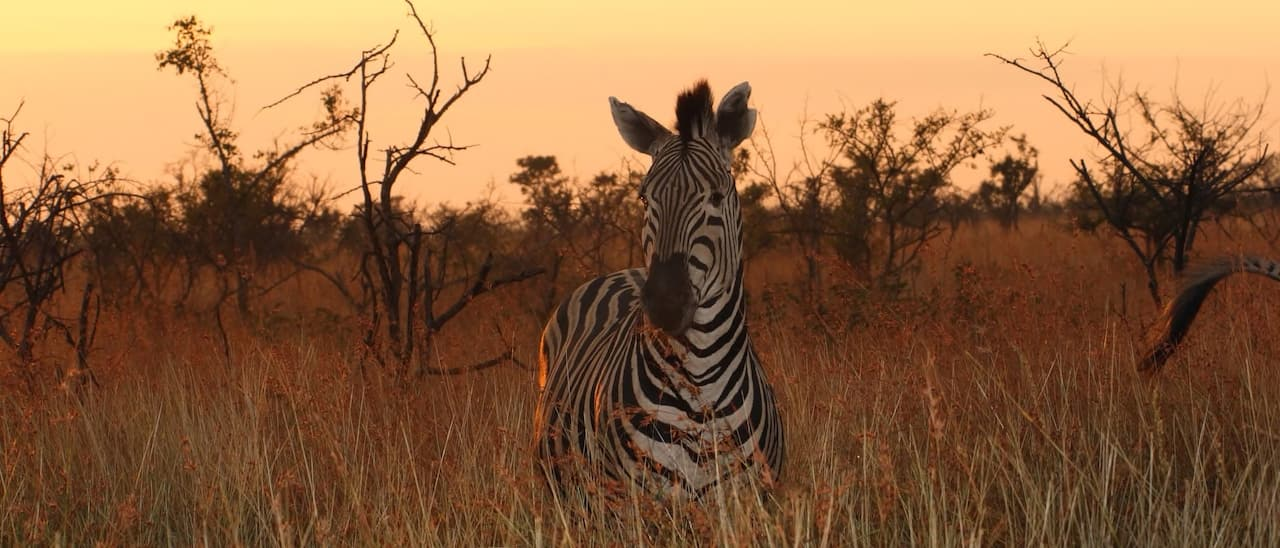 A zebra stands amid the grass and trees of the African savanna