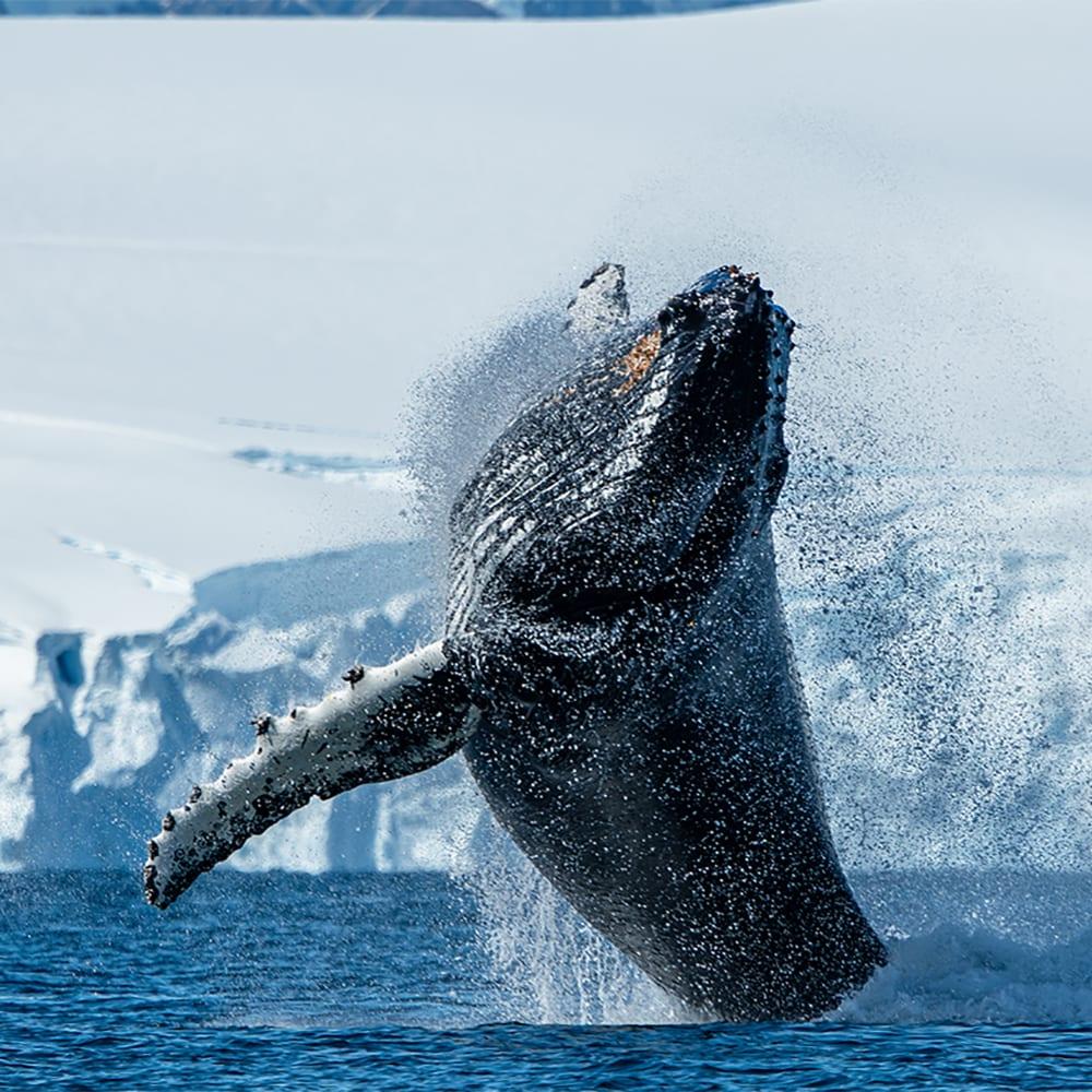 Humpback whale breaching off the Antarctica coast