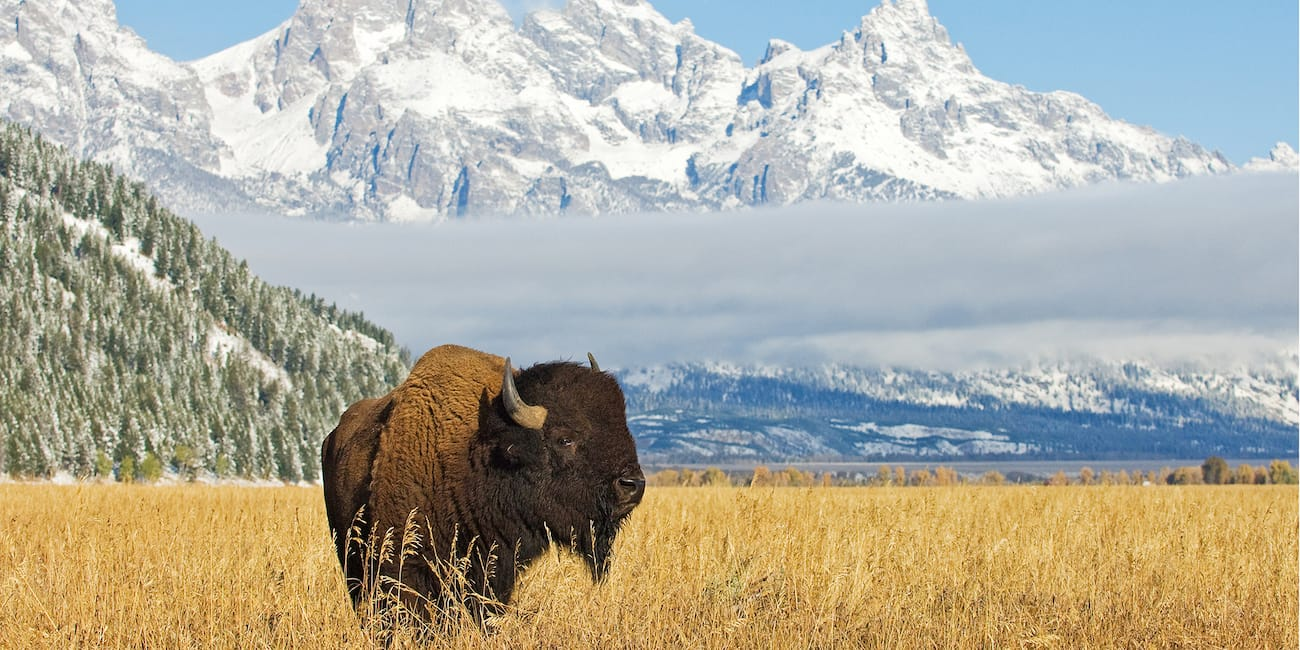 A bison stands in a field surrounded by mountain peaks