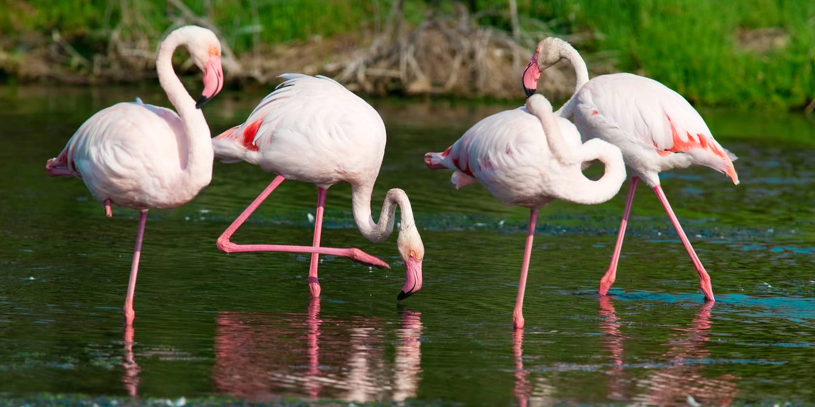 Several flamingos stand in water