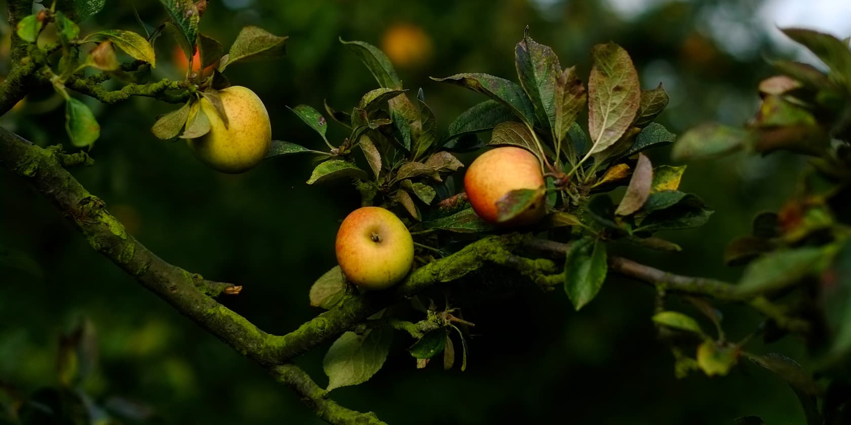Apples on a tree at a local French orchard