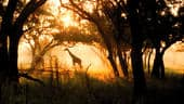 A giraffe in the mist, surrounded by trees