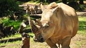 Um rinoceronte branco caminha perto de uma zebra em uma floresta