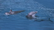 Close view of 2 dolphins playing in the blue ocean water