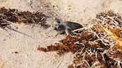 A baby sea turtle crawls over sand and clumps of seaweed