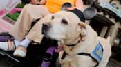 A service dog, wearing Mickey Mouse ears, helps a Disneyland Guest in a wheelchair