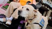 Un perro de servicio que lleva orejas de Mickey Mouse ayuda a un Visitante de Disneyland en silla de ruedas