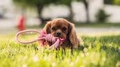 Un cachorro tumbado en el césped y masticando un juguete de soga