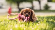A puppy laying down on grass and chewing on a rope toy