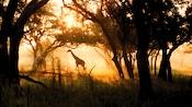 Two giraffes graze in the morning sun at Disney's Animal Kingdom Lodge