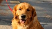 A golden retriever on a leash