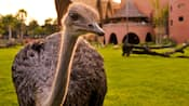 A curious ostrich stands at attention on the savanna at Disney's Animal Kingdom Villas – Jambo House
