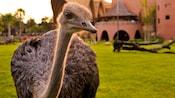 Una avestruz curiosa se para atenta en la sabana en Disney's Animal Kingdom Villas – Jambo House
