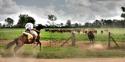 Man on a horse chases after cattle in a field