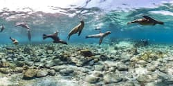 A herd of seals playfully swimming underwater