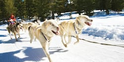 The Iditarod dog sled team pulls tourists along a snowy trail in Wyoming