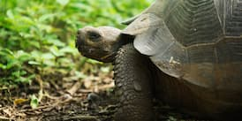 A Galápagos tortoise