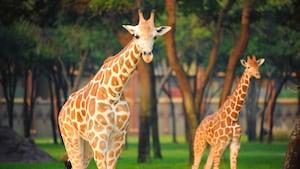 2jirafas caminan entre los árboles de la sabana en Disney's Animal Kingdom Lodge