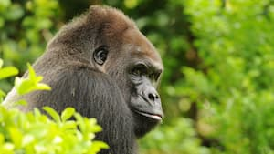 A western lowland gorilla from the Gorilla Falls Expedition Trail at Disney's Animal Kingdom park