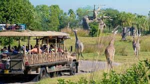 A safari vehicle approaches a herd of giraffes roaming an open safari at Disney's Animal Kingdom park