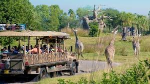 A safari vehicle approaches a herd of giraffes roaming an open safari at Disney's Animal Kingdom park