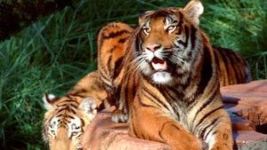 Dois tigres asiáticos tranquilos em um passeio com animais exóticos no Disney's Animal Kingdom Park