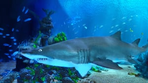 A large shark swimming around an underwater habitat, viewable from Coral Reef Restaurant at Epcot
