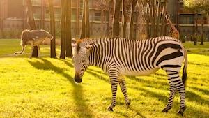 A zebra, ostrich and 2 giraffes grazing on the savannah of Disney's Animal Kingdom Lodge