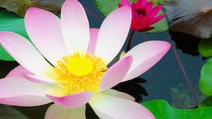 Close-up of a water lily located in a China Pavilion pond at Epcot