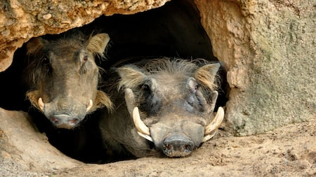 2 warthogs relax in a tiny cavern