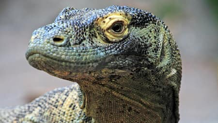 A Komodo dragon looks around