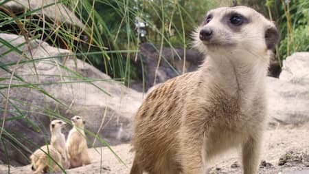 A curious meerkat inspects the surroundings as 3 other meerkats huddle behind it