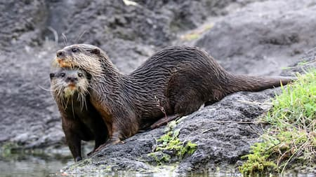 An Asian small-clawed otter rests its head on another otter by the edge of the water