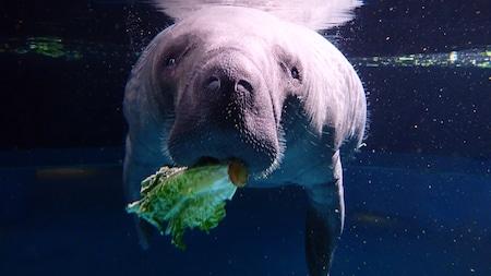 A manatee eats lettuce underwater