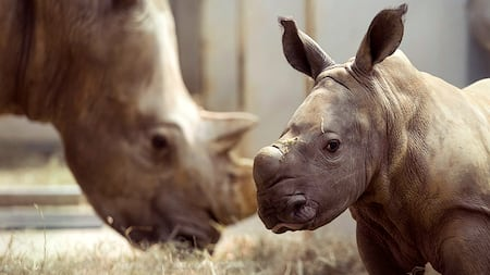 A baby rhinoceros in an enclosure with a grazing adult